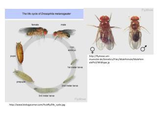 biologycorner/fruitfly/life_cycle.jpg