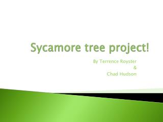 Sycamore tree  project!
