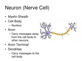 Neuron (Nerve Cell)