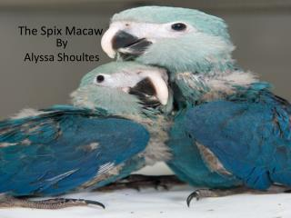 The Spix Macaw