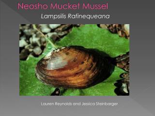 Neosho Mucket Mussel