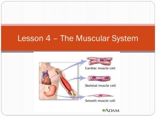 Lesson 4  –  The Muscular System