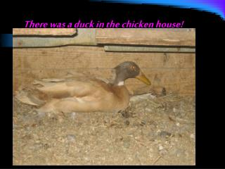 There was a duck in the chicken house!