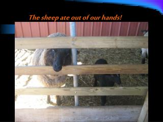 The sheep ate out of our hands!