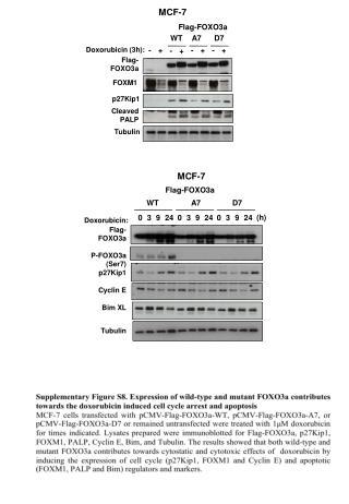 Doxorubicin (3h):