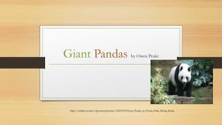Giant P andas  by Owen Peake