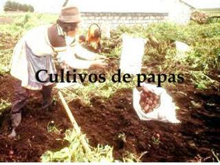 Cultivos de papas