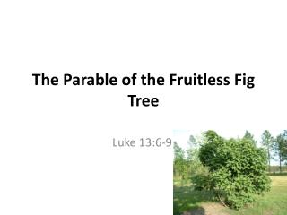 The Parable of the Fruitless Fig Tree