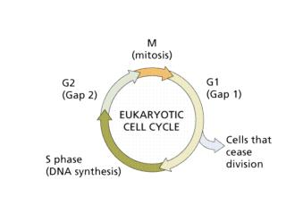 cellsalive/cell_cycle.htm