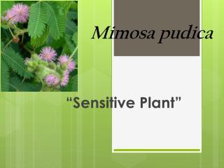 Mimosa  p udica