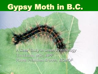 Gypsy Moth in B.C.