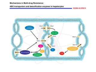 Mechanisms in Multi-drug Resistance: ABC-transporters and detoxification enzymes in hepatocytes