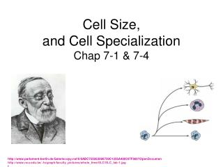 Cell  Size,  and Cell Specialization  Chap 7-1 & 7-4