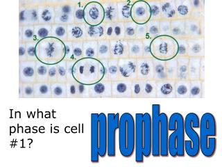 In what phase is cell #1?