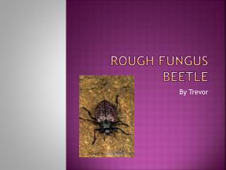 Rough fungus beetle