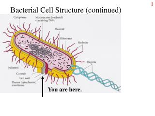 Bacterial Cell Structure (continued)