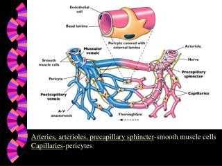 Arteries, arterioles, precapillary sphincter -smooth muscle cells Capillaries -pericytes