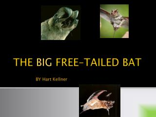 THE  BIG  FREE–TAILED  BAT