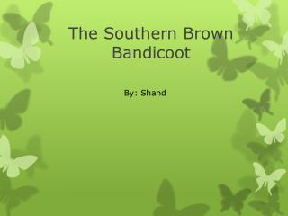 T he Southern Brown Bandicoot