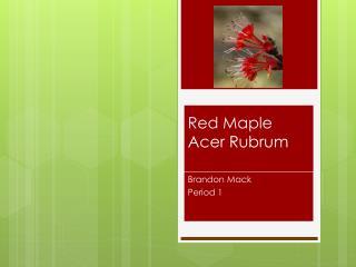 Red Maple  Acer  R ubrum