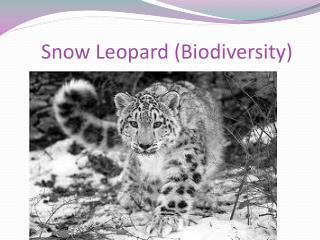 Snow  Leopard (Biodiversity)