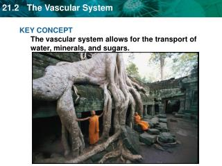 KEY CONCEPT The vascular system allows for the transport of water, minerals, and sugars.