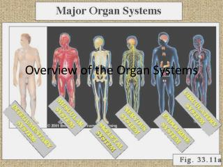 Overview of the Organ Systems