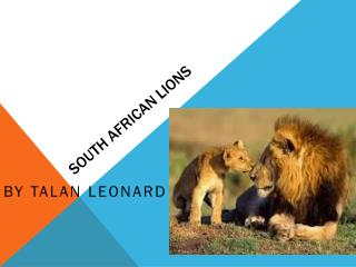 South African lions