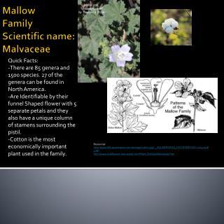 Mallow Family Scientific name:  Malvaceae