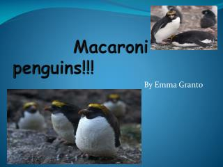 Macaroni  penguins!!!