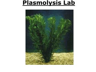 Plasmolysis Lab