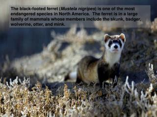 The black-footed ferret Mustela nigripes is one of the most endangered species in North America.  The ferret is in a lar