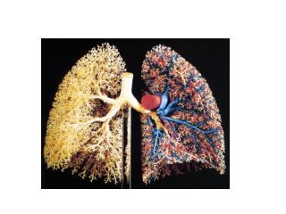 Right lung has 3 lobes – superior, middle, inferior Left lung has 2 lobes – superior and inferior