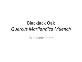Blackjack Oak Quercus M arilandica Muench