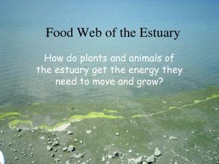 Food Web of the Estuary