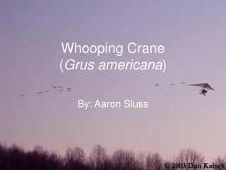 Whooping Crane ( Grus americana )