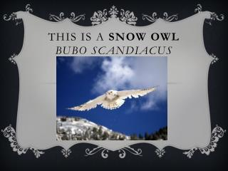 This is a  snow owl Bubo  scandiacus