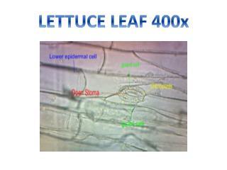LETTUCE LEAF  400x