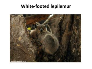 White-footed  lepilemur