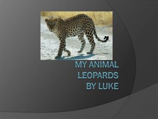 My animal Leopards By Luke