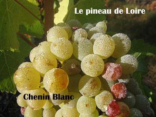 Le pineau de Loire
