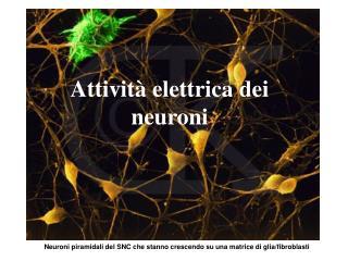 Neuroni piramidali del SNC che stanno crescendo su una matrice di glia/fibroblasti