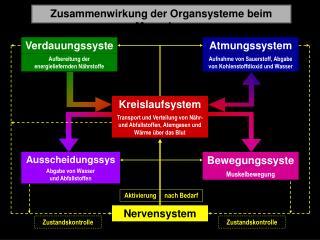 Zusammenwirkung der Organsysteme beim Menschen