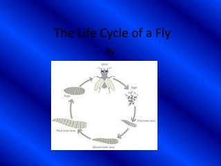 The Life Cycle of a Fly