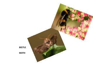BEETLE MOTH