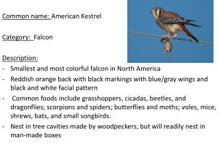 Common name:  American Kestrel Category:   Falcon Description: