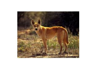 dingo red kangaroo example