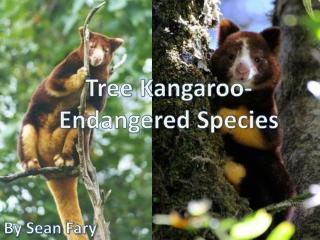 Tree Kangaroo-  Endangered Species