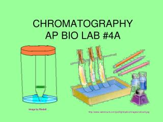 CHROMATOGRAPHY AP BIO LAB #4A