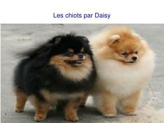 Les chiots par Daisy